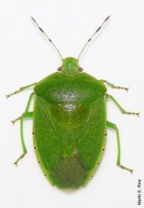 Green+Stink+Bug.jpgGreen+Stink+Bug