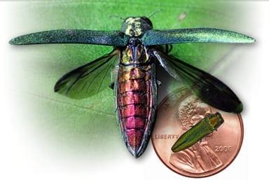Emerald+Ash+Borer+Beetle.jpgEmerald+Ash+Borer+Beetle
