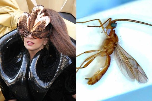 Gaga+Wasp.jpgGaga+Wasp