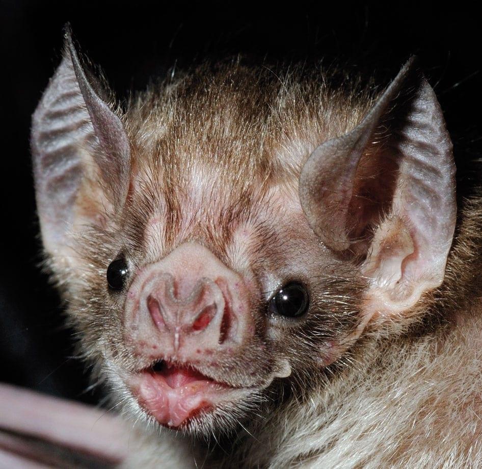 bats archives rapid pest solutions