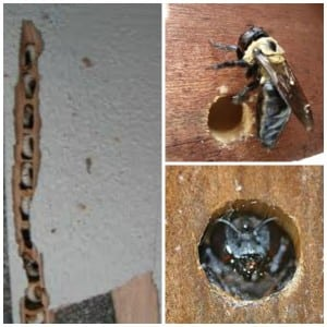 Carpenter+Bees.jpgCarpenter+Bees