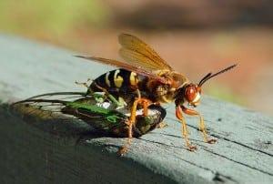 Cicada+Killer+With+Cicada.jpgCicada+Killer+With+Cicada