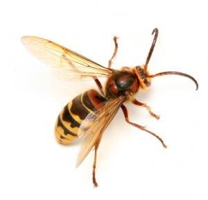 Hornet.jpgHornet