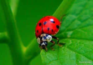 Lady Bugs are good luck you know!