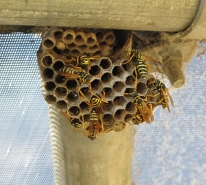 Paper+Wasp+Nest.jpgPaper+Wasp+Nest