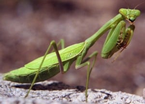 Praying+Mantis.jpgPraying+Mantis